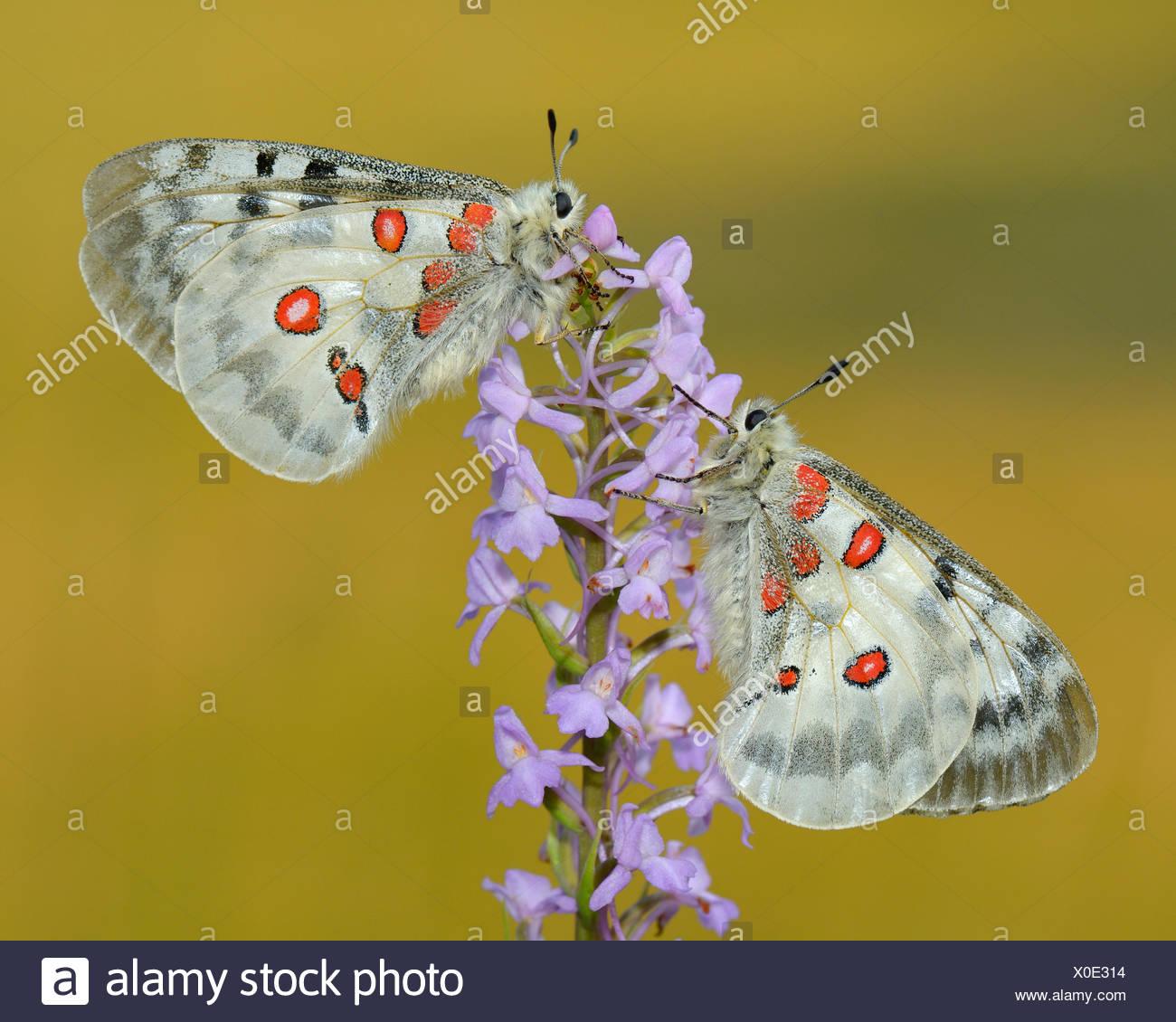 Apollo Schmetterlinge Schon Apollo Zwei Schmetterlinge Die