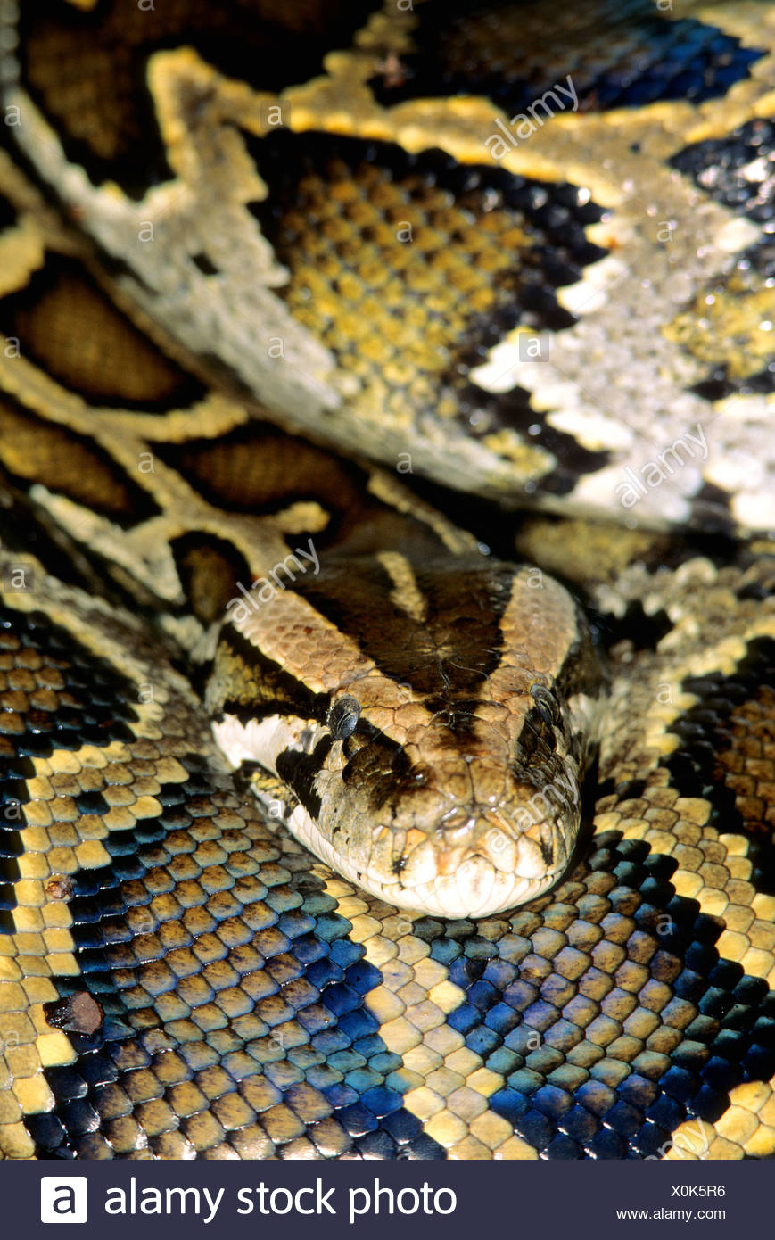 Erwachsene weibliche burmesischen Python (Python aus), entkam in ...