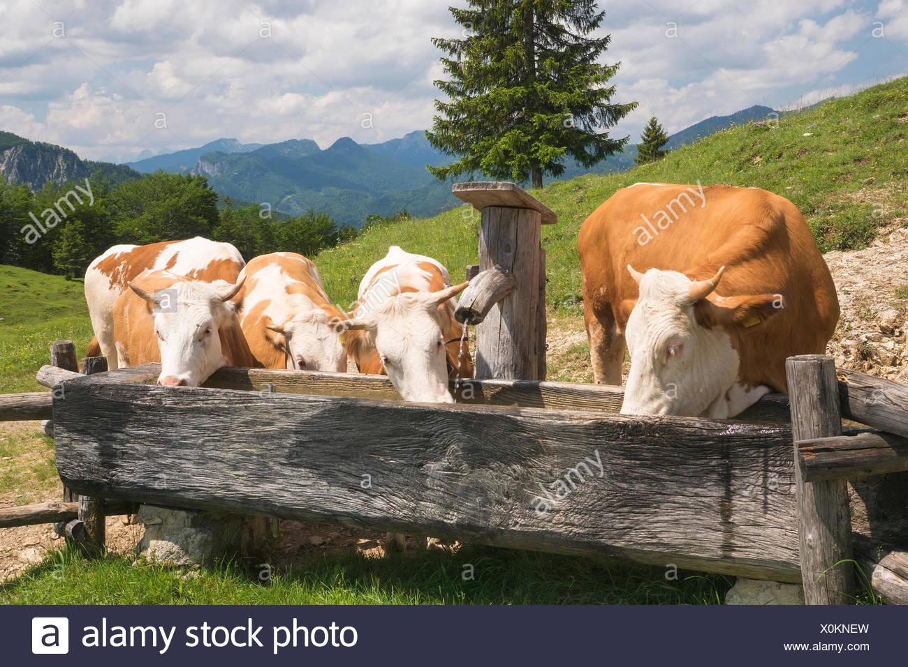 Kühe, Kälber, Tränke Stockfoto, Bild: 275799857 - Alamy