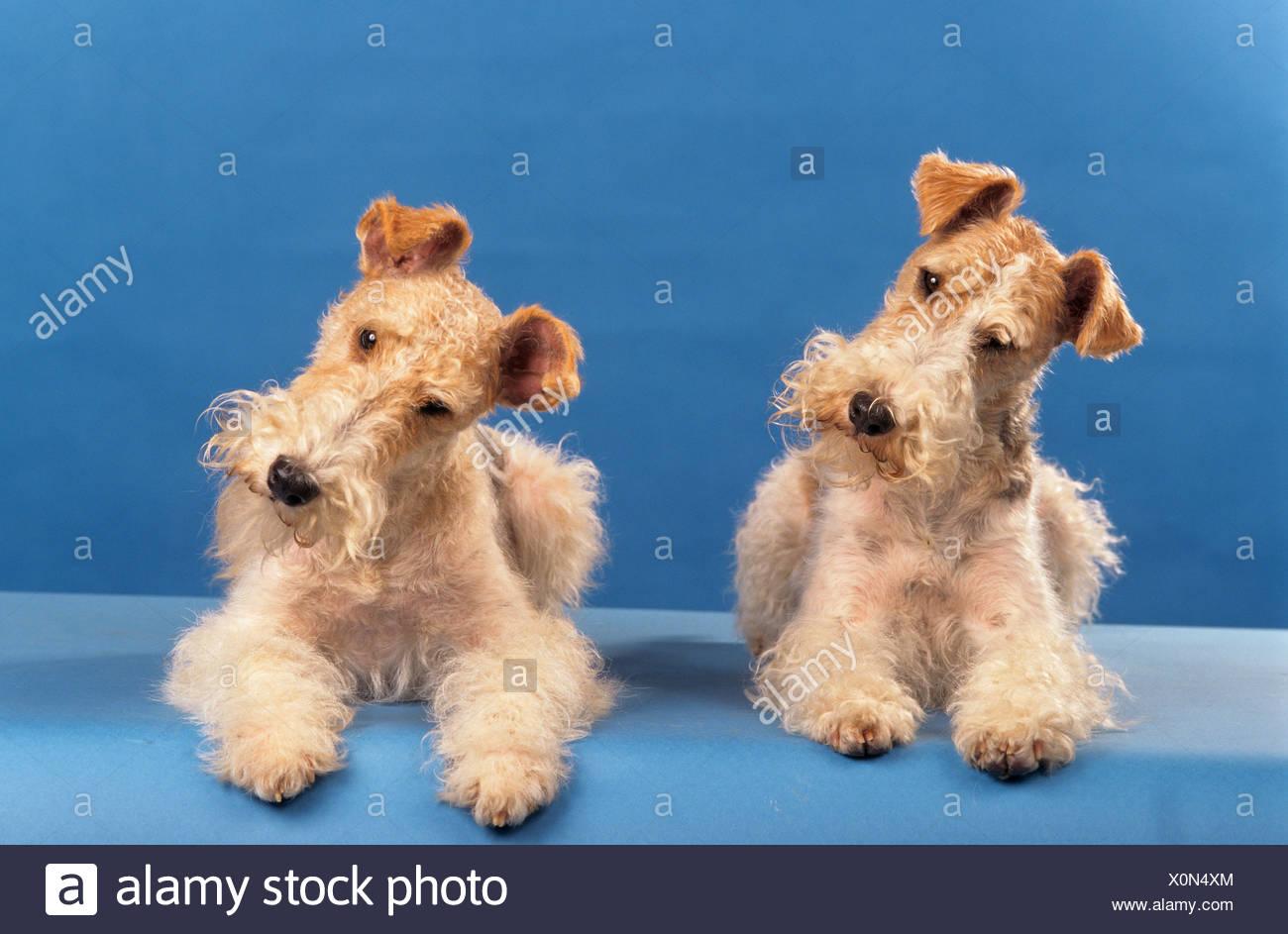 Ziemlich Drahthaar Foxterrier Adoption Fotos - Elektrische ...