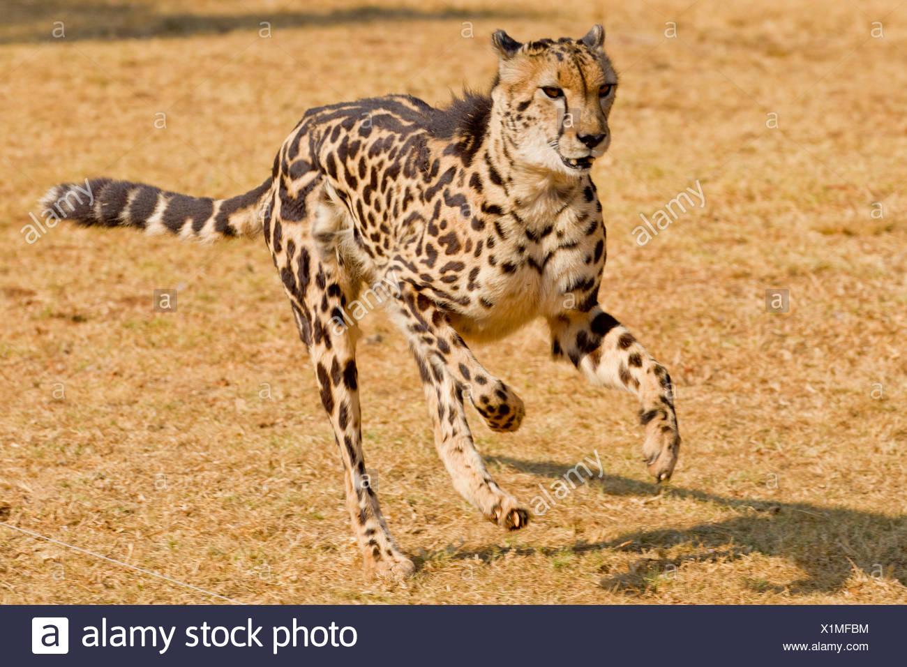 Ziemlich Gepard Farbseite Ideen - Malvorlagen Von Tieren - ngadi.info