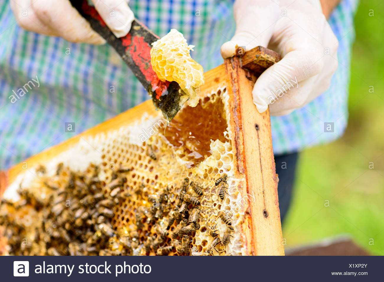 Entfernen von wildgebauten Honigwaben im Wabenrahmen durch den Imker ...