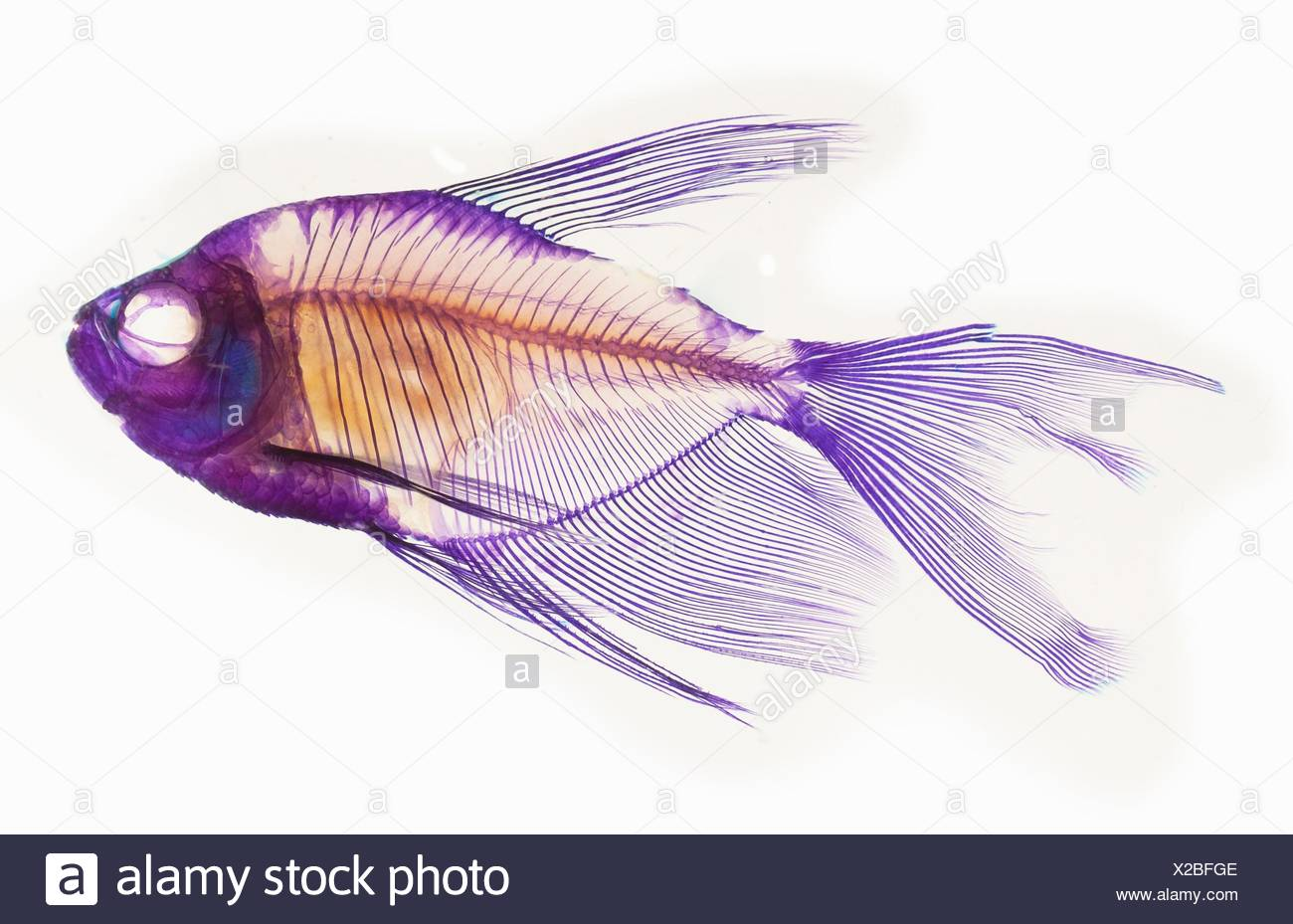 Ausgezeichnet Regenbogen Fisch Färbung Seite Vorlage Galerie ...