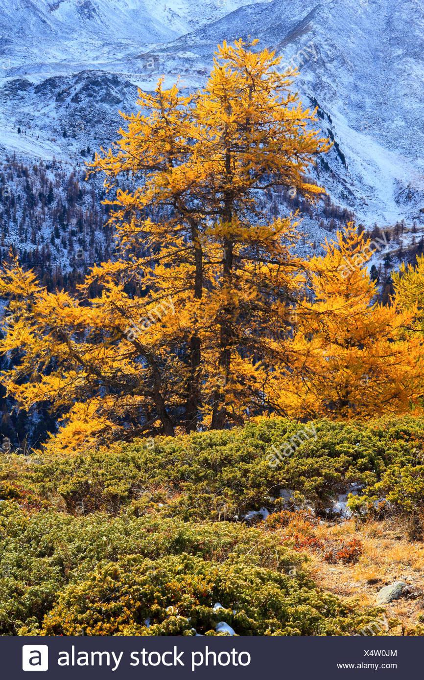 Alpen Schneiden Teil Baum Berg Berge Flora Baume Pflanzen