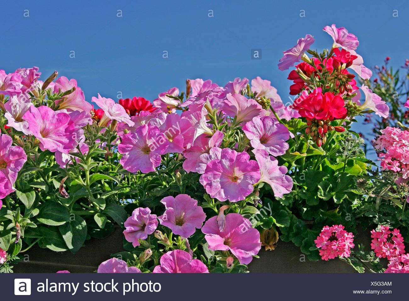 blume blumen pflanzen zierpflanzen teppich von blumen petunien