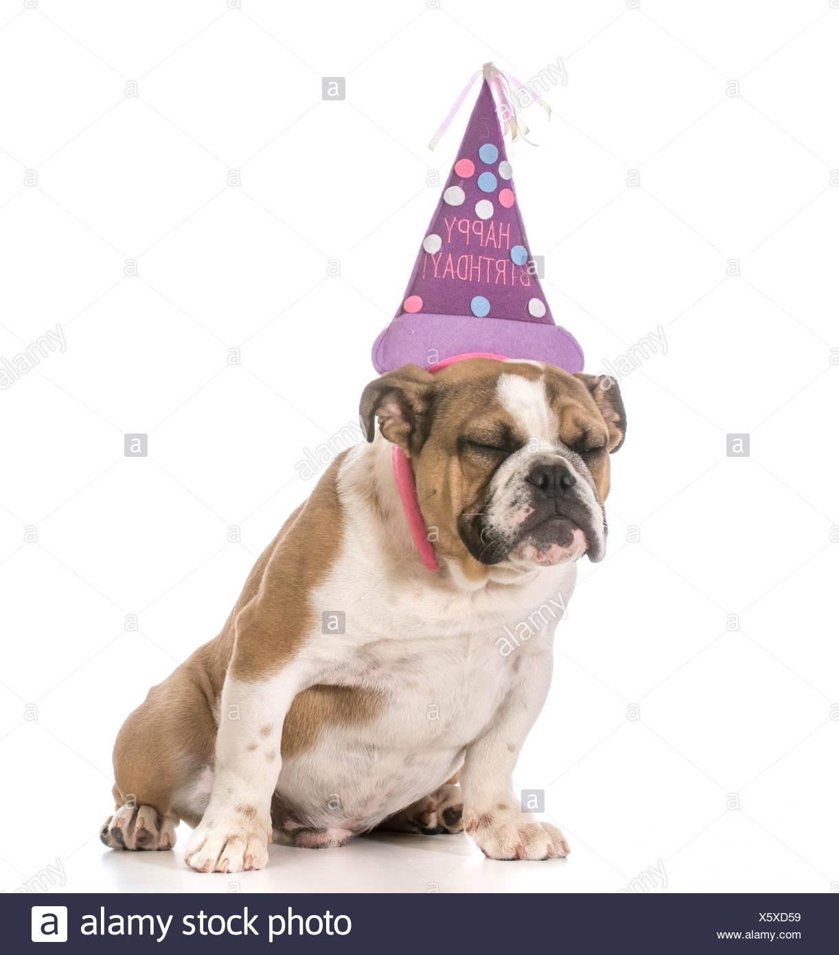 Geburtstag Hund Englische Bulldogge Tragt Geburtstag Stirnband Auf
