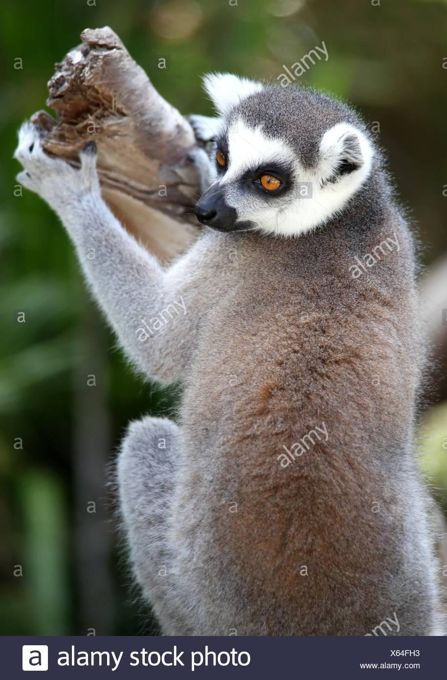 Charmant Lemur Färbung Seite Ideen - Druckbare Malvorlagen - amaichi ...