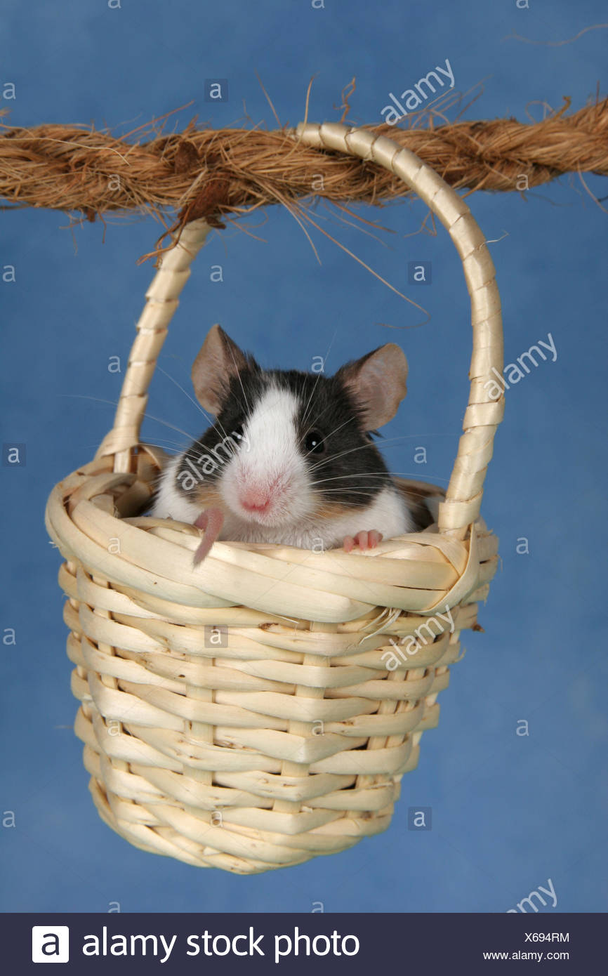 House Mouse Mus Musculus Sitting Stockfotos & House Mouse Mus ...