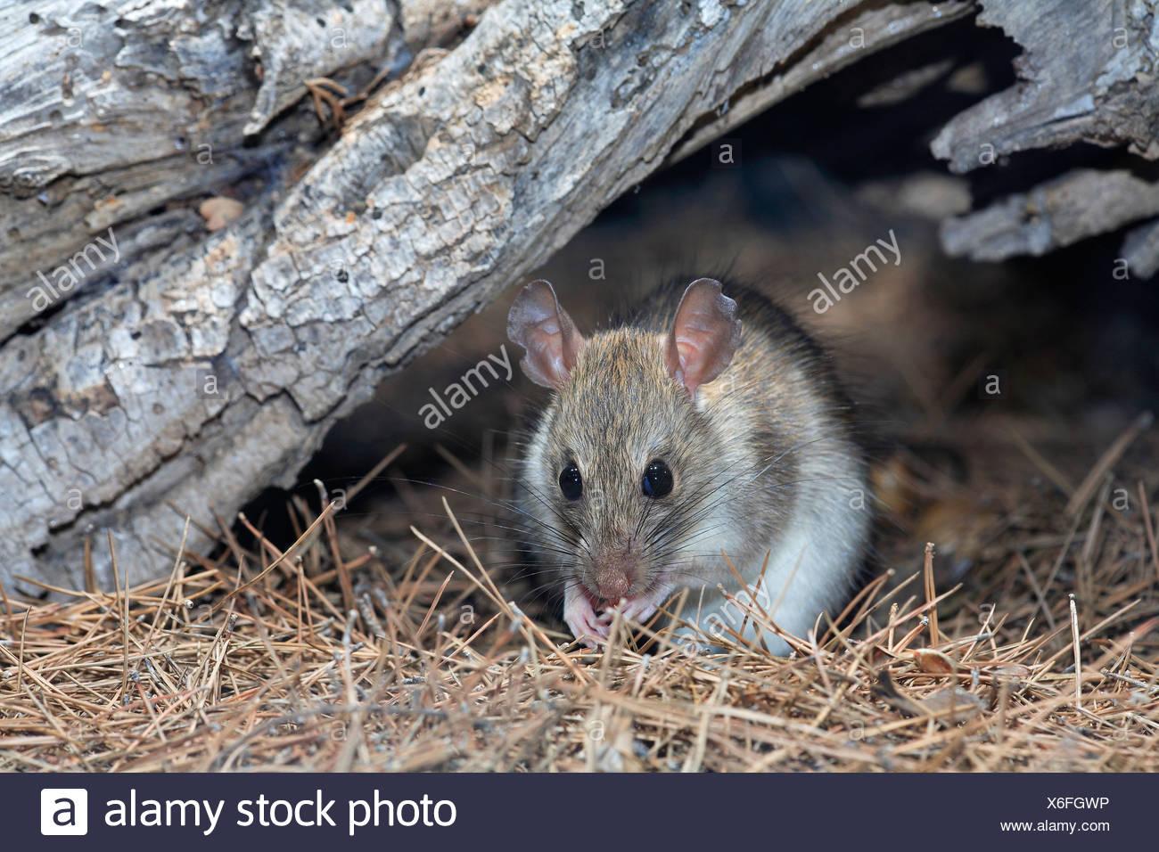 Erfreut Draht Mäuse Kauen Fotos - Der Schaltplan - triangre.info