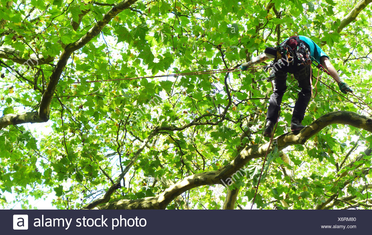 Kletterausrüstung Baumpflege : Baumpfleger klettern in einem baum deutschland stockfoto bild