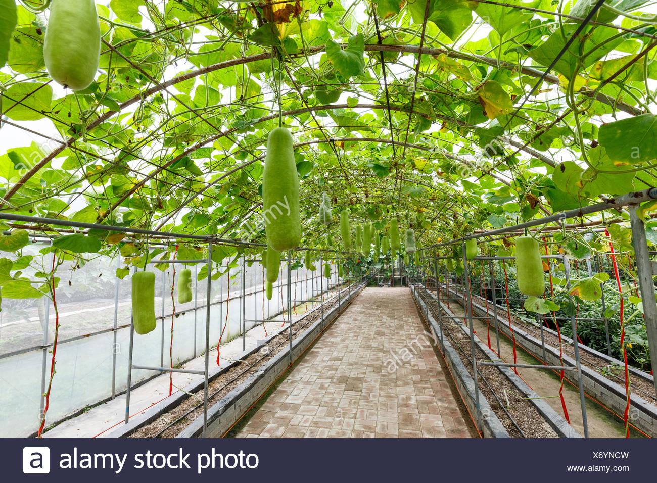 Innere Des Gemuse Gewachshaus Stockfoto Bild 279663353 Alamy