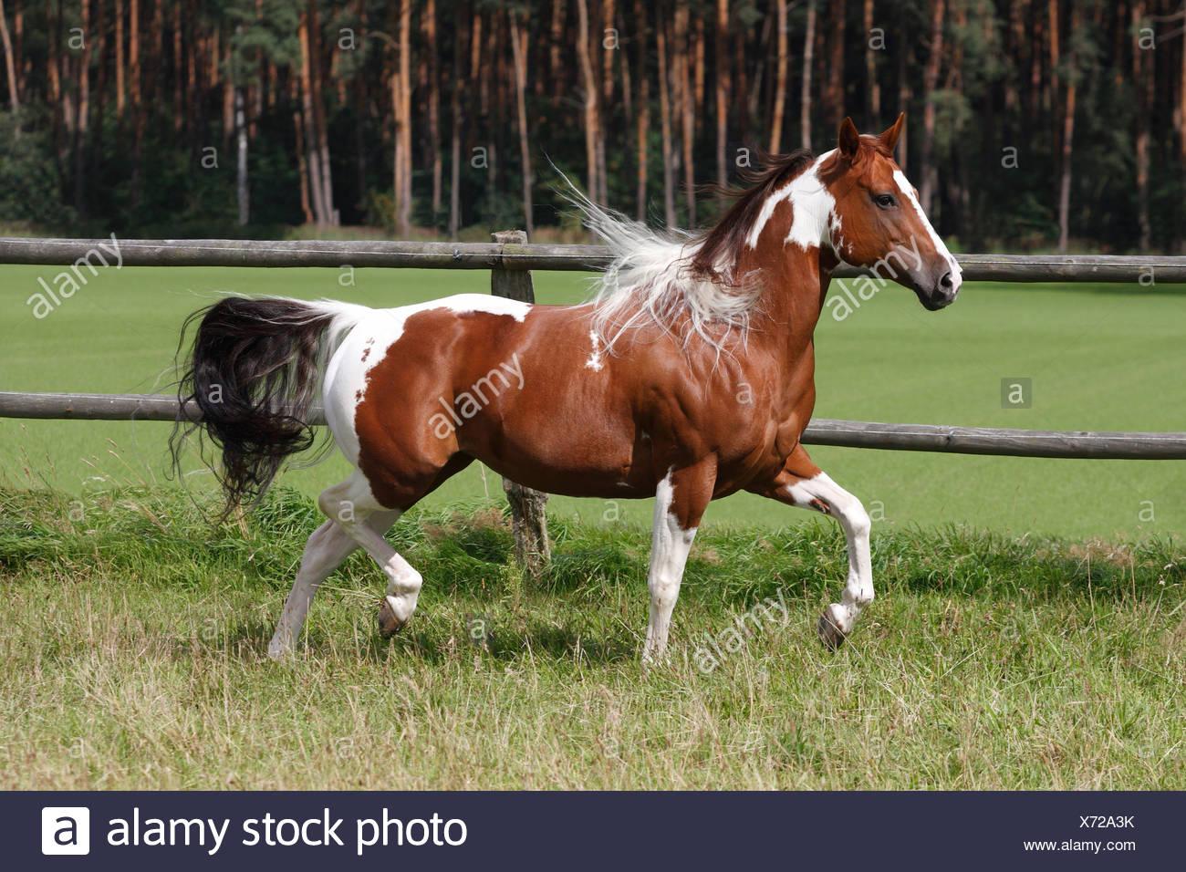 Ausmalbilder Schimmel Pferd