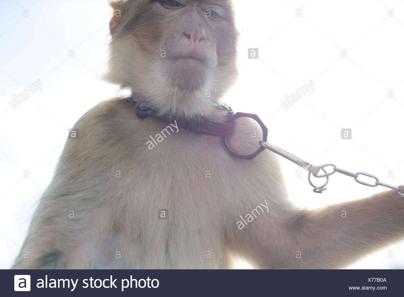 Astounding Haustier Affe Foto Von Trägt Kragen