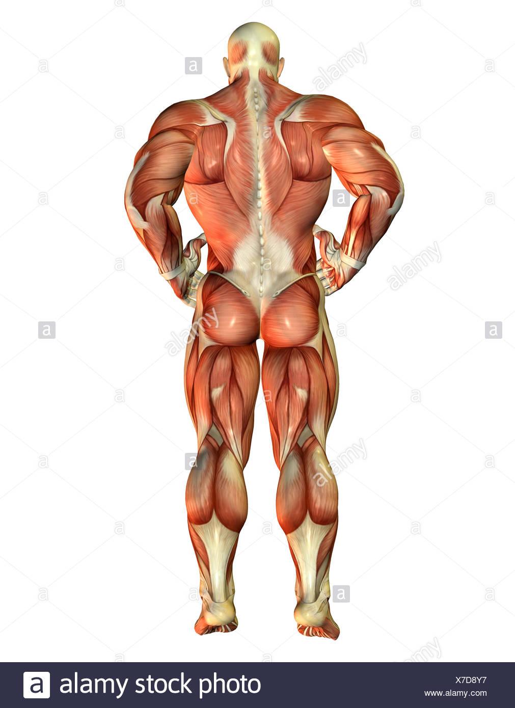 Berühmt Muskeln Des Rückens Und Des Halses Fotos - Menschliche ...