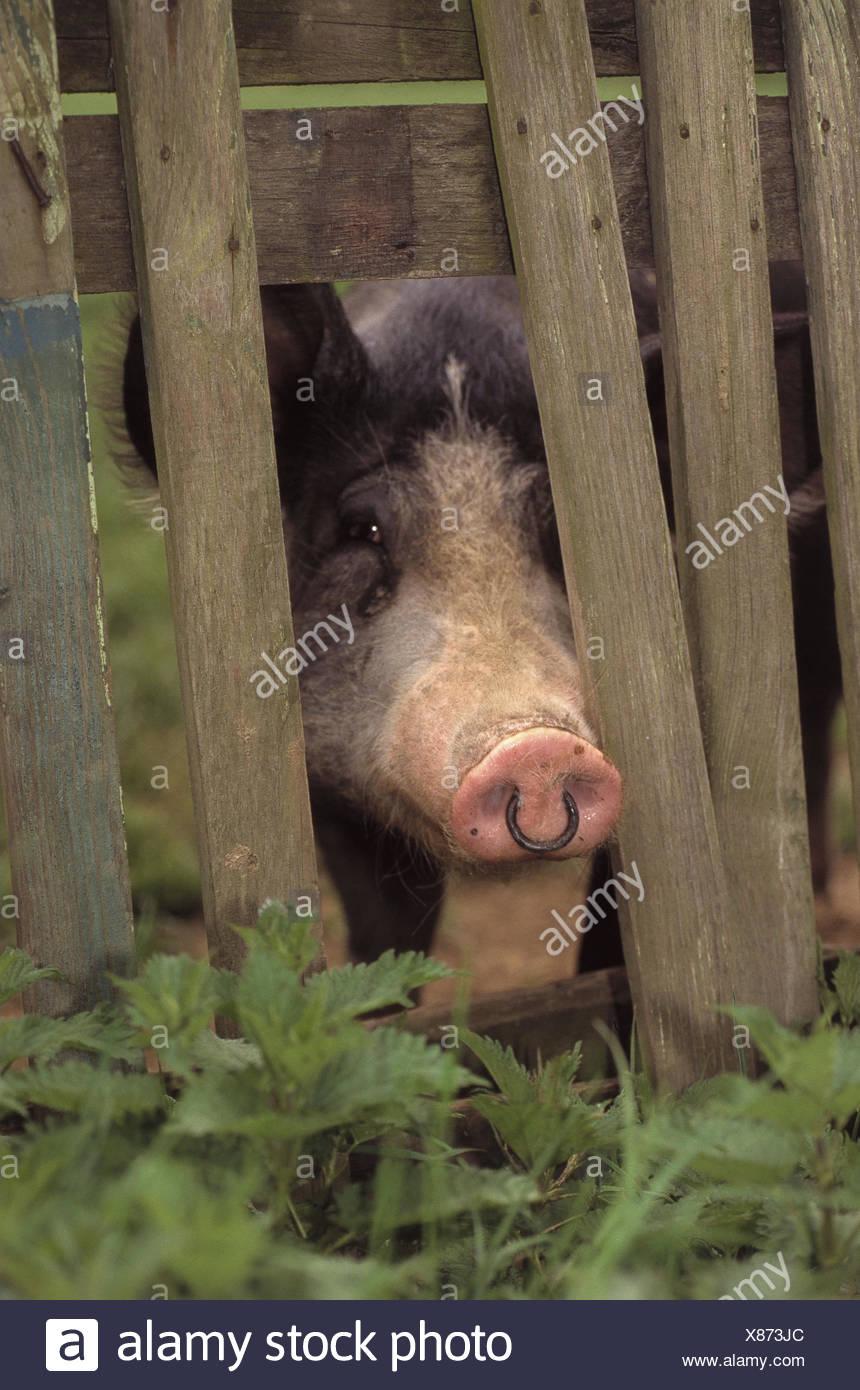 Schön Schwein Drahtzaun Land Bilder - Der Schaltplan - greigo.com