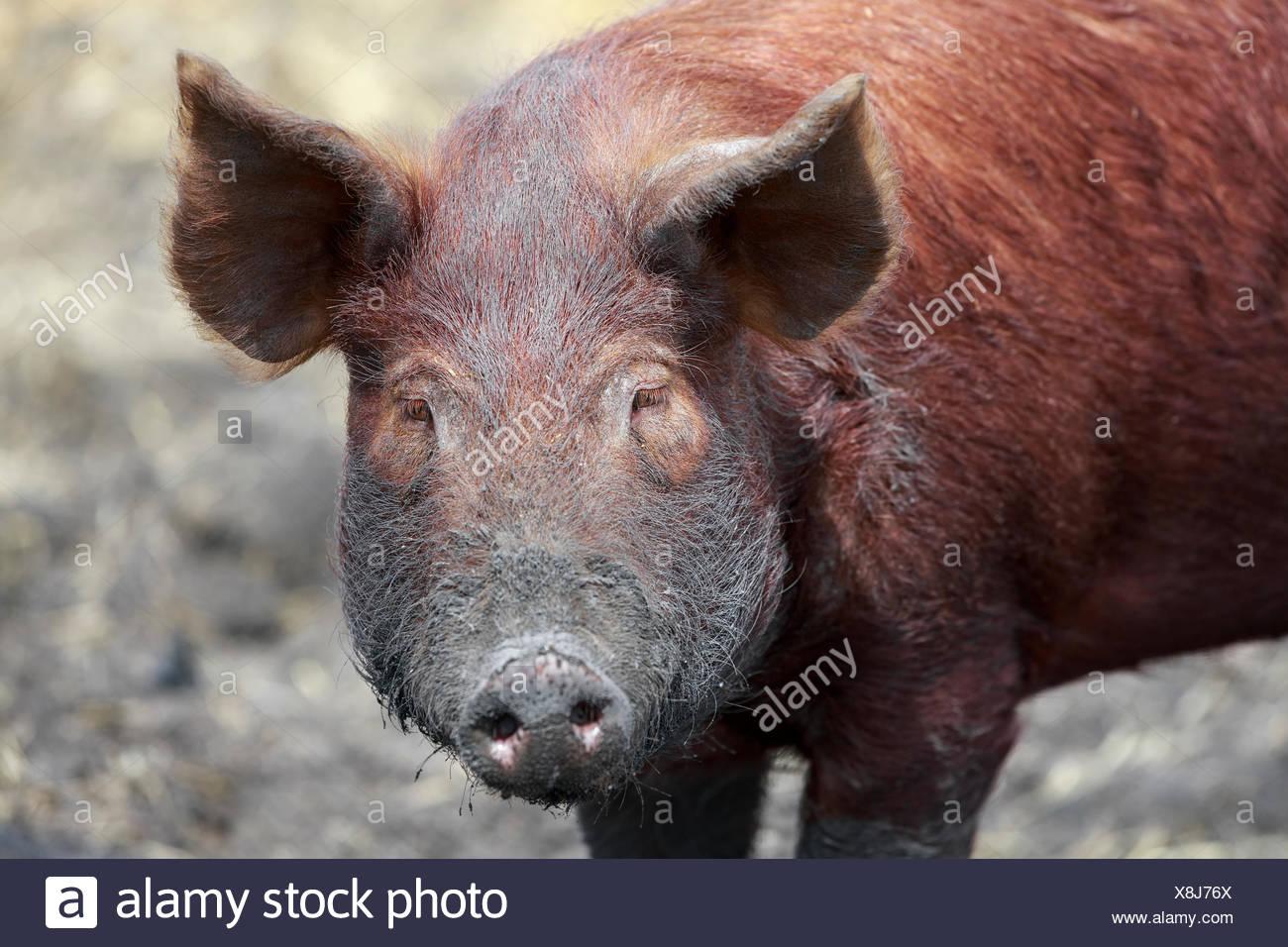 Ausgezeichnet Schweine Für Schweinedraht Fotos - Schaltplan Serie ...