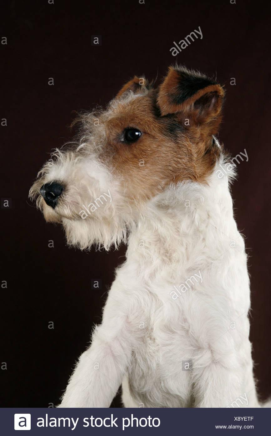 Ungewöhnlich Draht Fox Terrier Züchter Ideen - Der Schaltplan ...
