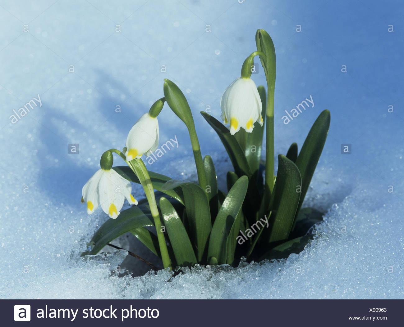 Garten Schnee Knoten Fruhlingsblume Leucojum Vernum Blute