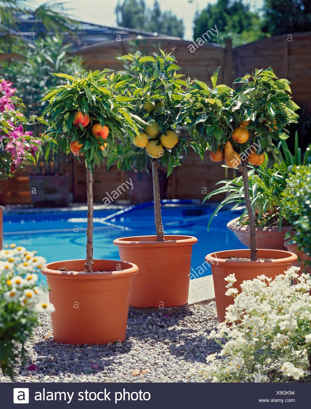 Nektarine Im Garten