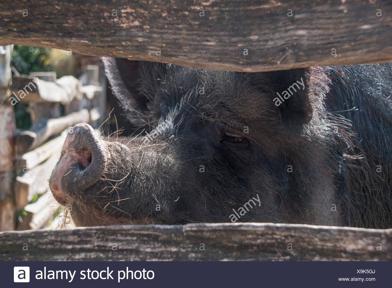 Fein Schweine Farbseite Bilder - Entry Level Resume Vorlagen ...