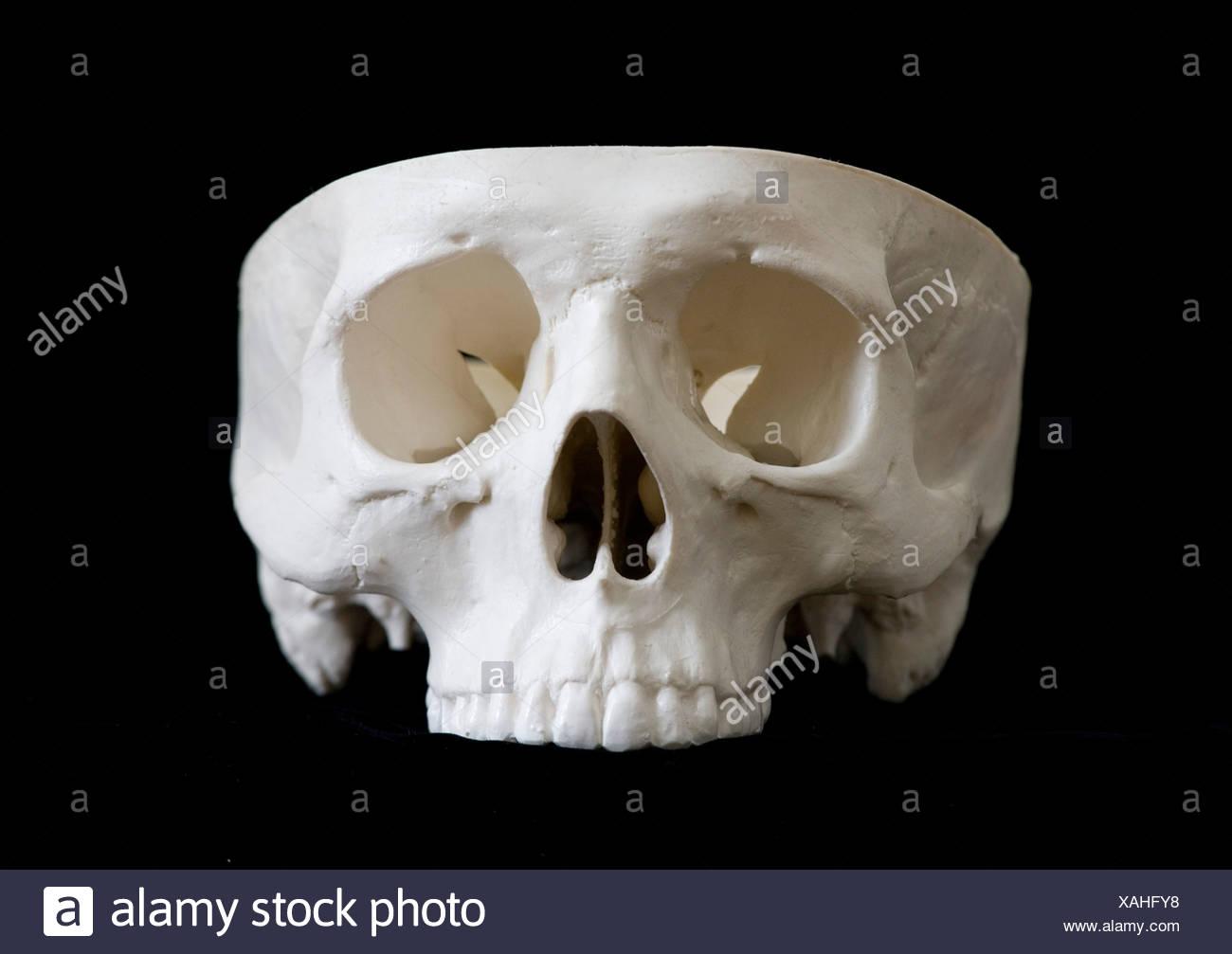 Menschliche Schädel Modellansicht von ventral, fehlende Schädeldecke ...