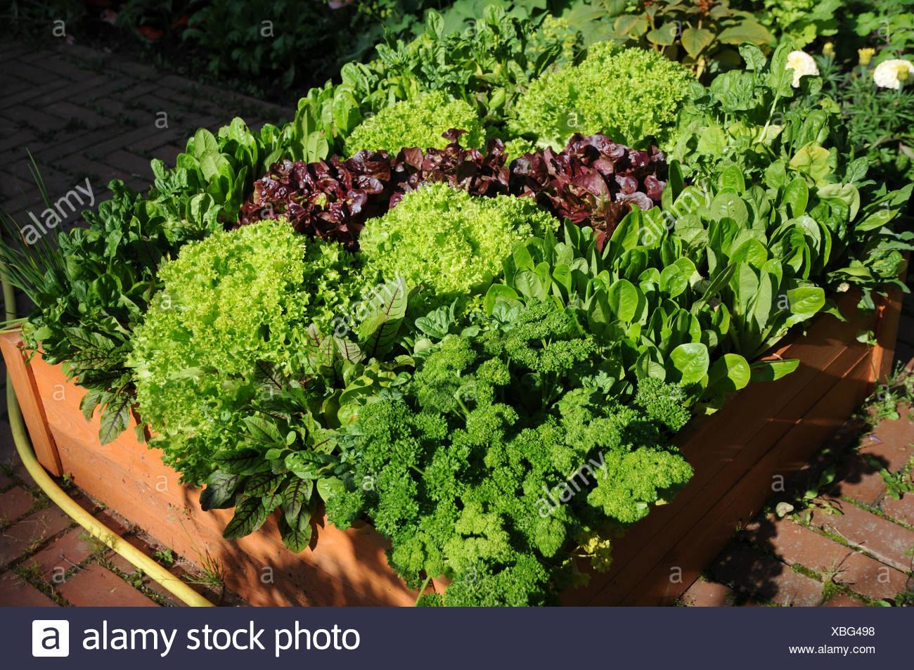 Hochbeet Mit Salat Und Petersilie Stockfoto Bild 282481732 Alamy