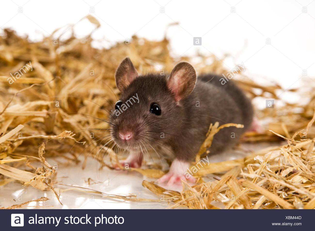 Ausgefallene Ratte Haustier Ratte Jugendkriminalitat Im Stroh