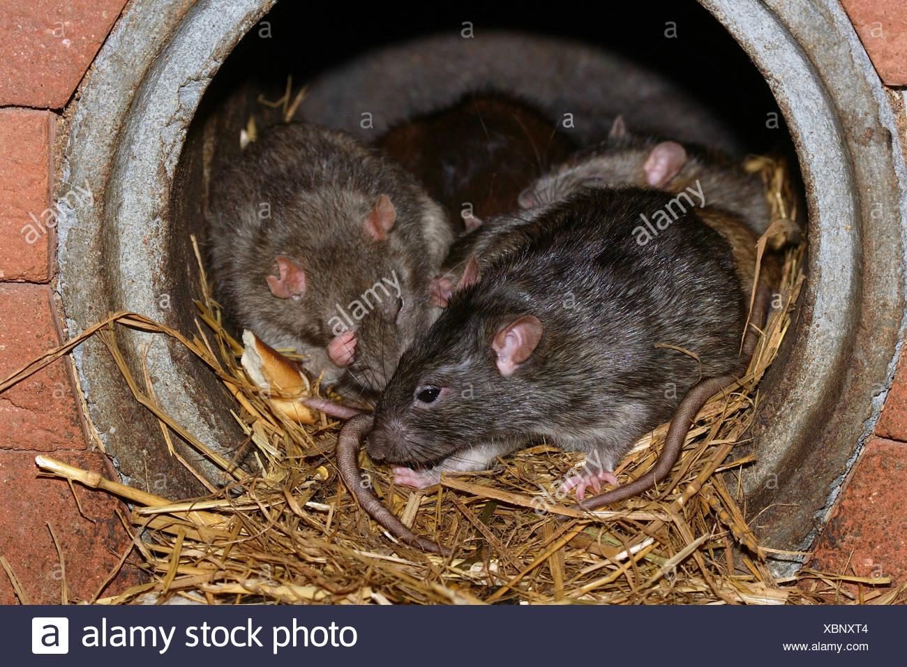 Ausgezeichnet Ratten Die Drähte Essen Bilder - Die Besten ...