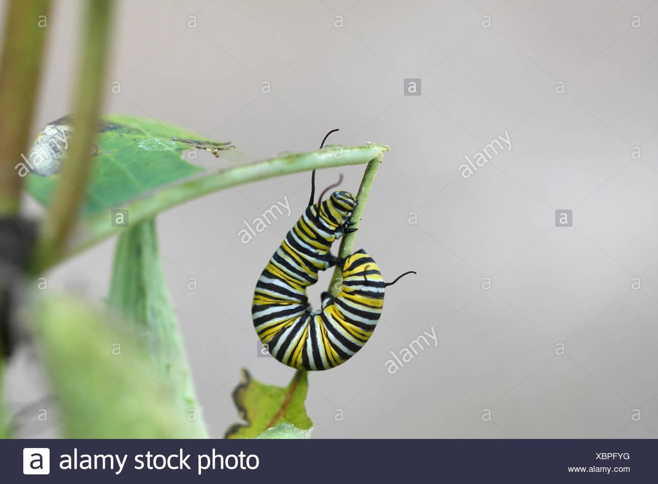 Erfreut Monarch Schmetterling Anatomie Zeitgenössisch - Menschliche ...