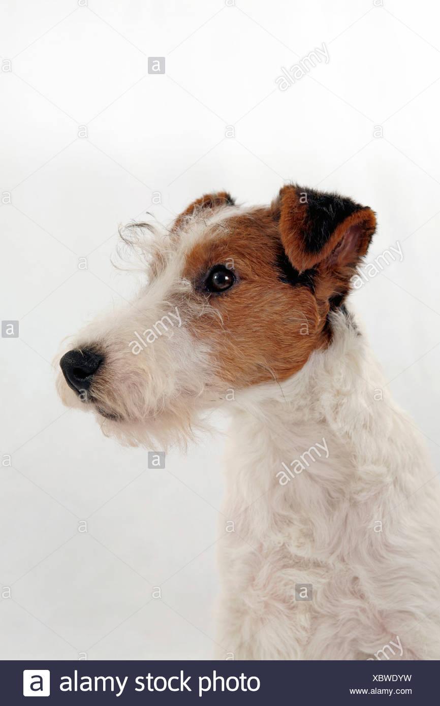 Foxterrier Welpe / Foxterrier Welpen Stockfoto, Bild: 282686877 - Alamy