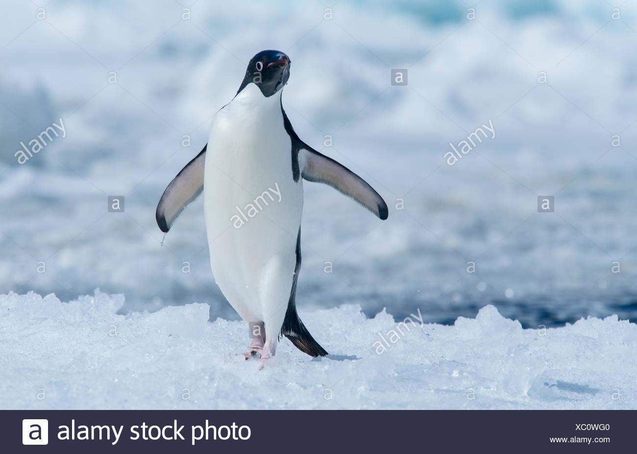 adeliepiguin malvorlage  coloring and malvorlagan