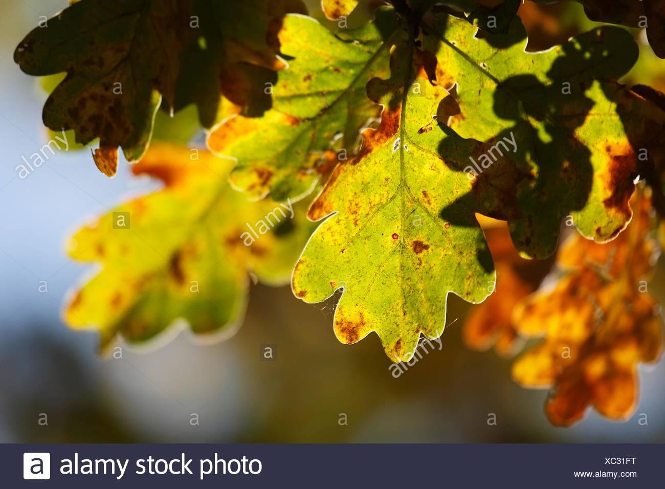 Blatter Der Stieleiche Im Herbst Quercus Robur Schleswig Holstein