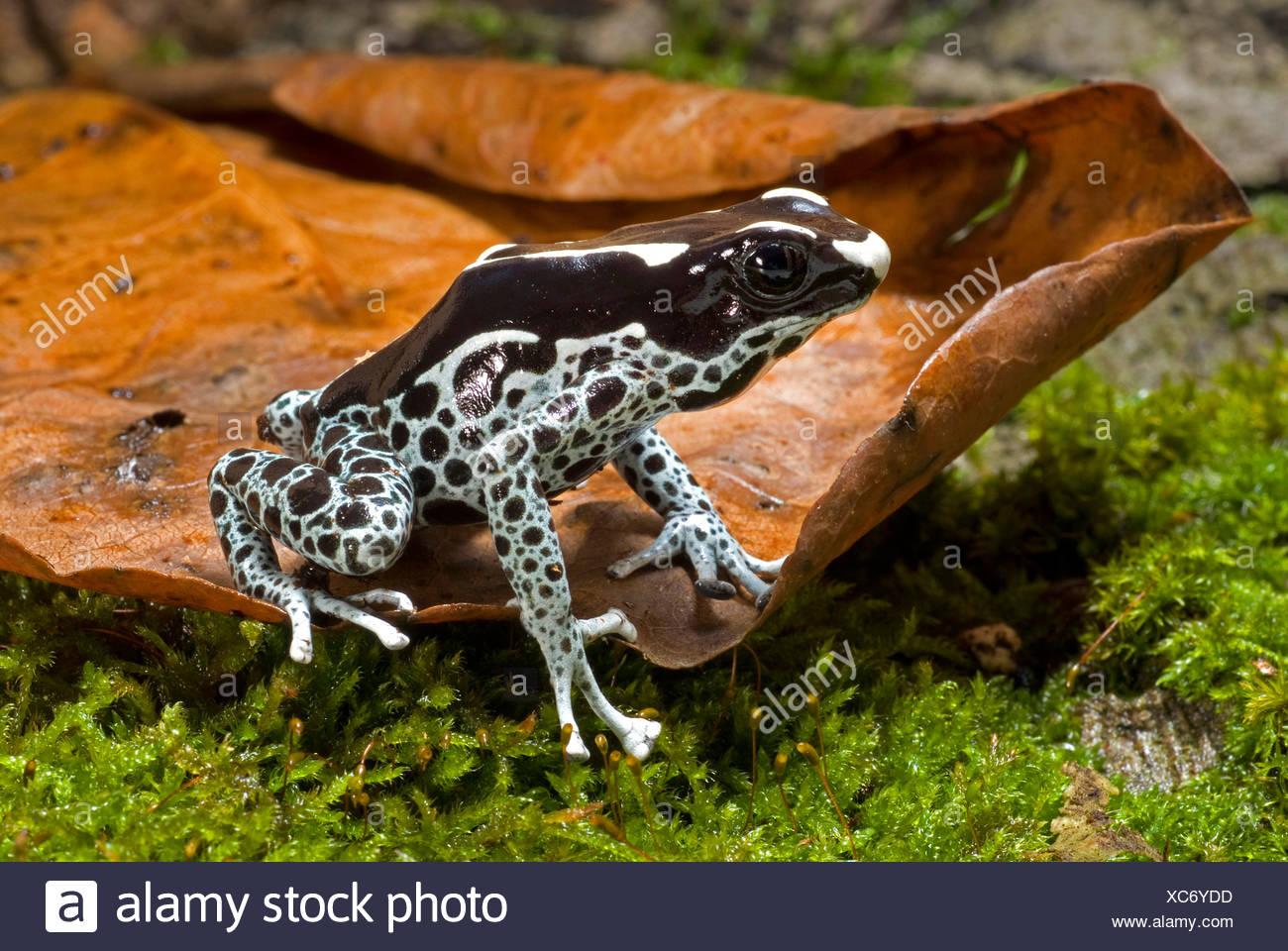 Färben färben poison Frog (Dendrobates Tinctorius), Poison Arrow ...