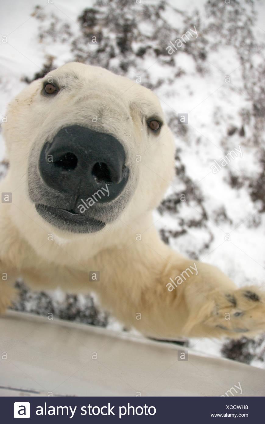 Groß Eisbär Gesicht Färbung Seite Galerie - Malvorlagen Von Tieren ...