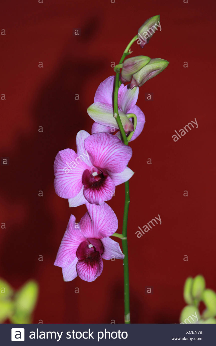 Nahaufnahme Von Bambus Orchidee Oder Arundina Graminifoli Blume