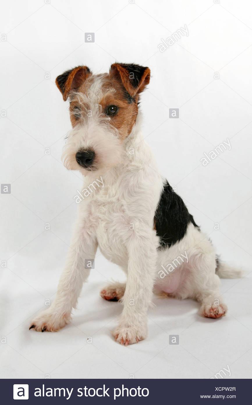 Foxterrier Welpe / Foxterrier Welpen Stockfoto, Bild: 283244383 - Alamy