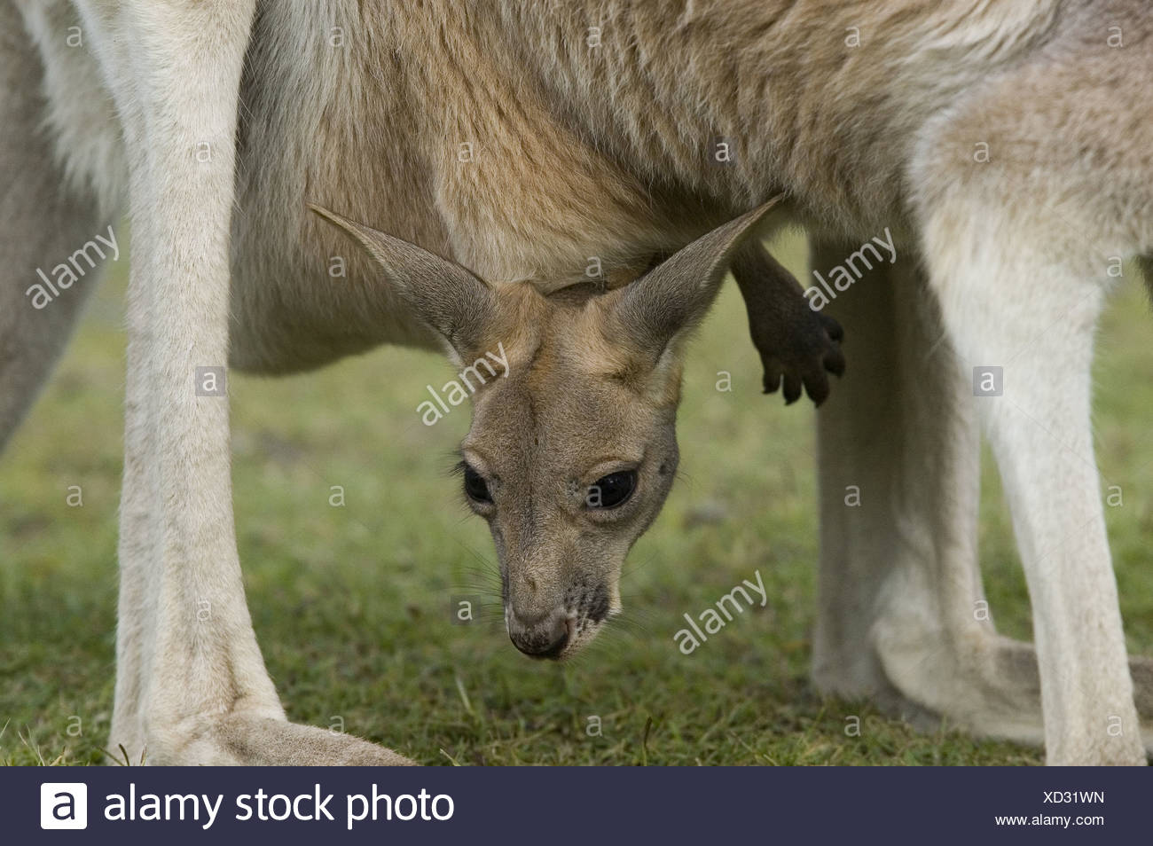 Ausgezeichnet Kanguru Malvorlagen Fotos - Druckbare Malvorlagen ...