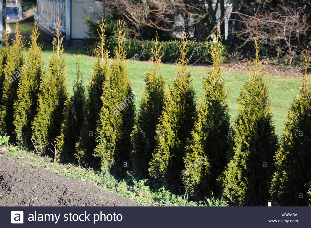 thuja occidentalis tree stockfotos thuja occidentalis tree bilder alamy. Black Bedroom Furniture Sets. Home Design Ideas