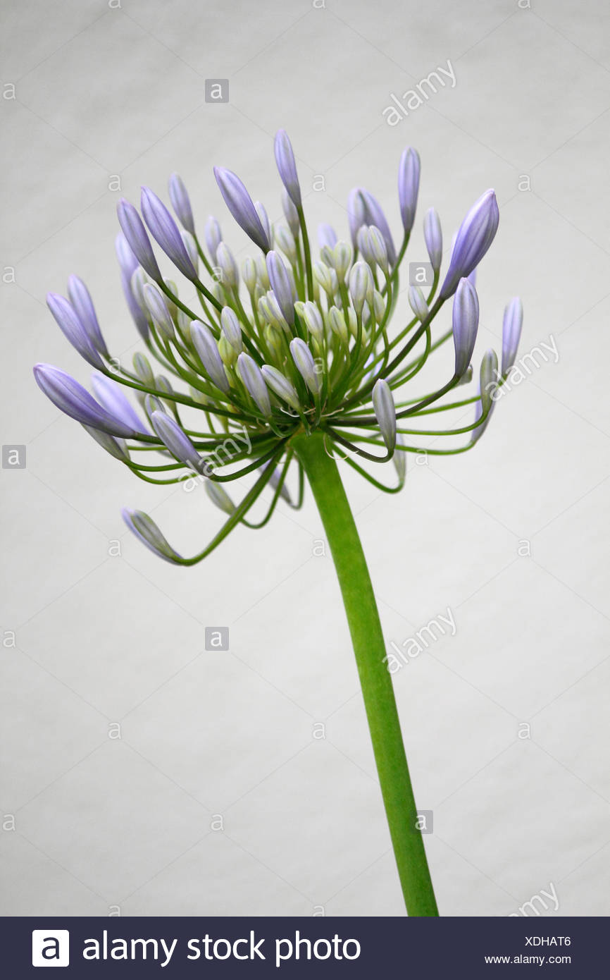 agapanthus stockfotos agapanthus bilder alamy. Black Bedroom Furniture Sets. Home Design Ideas