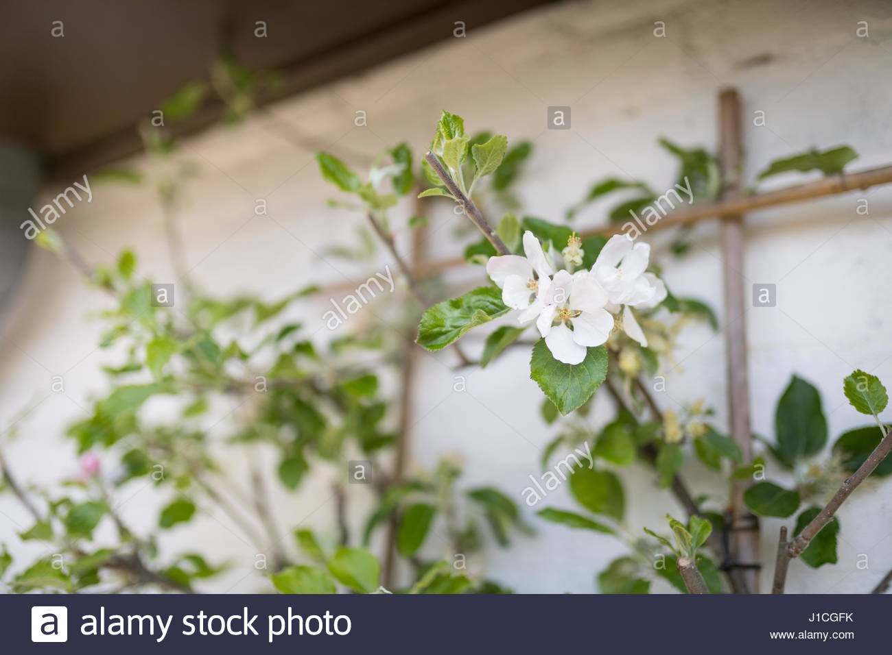 Apple Blossom On Espalier Tree In Front Of White Wall Spring