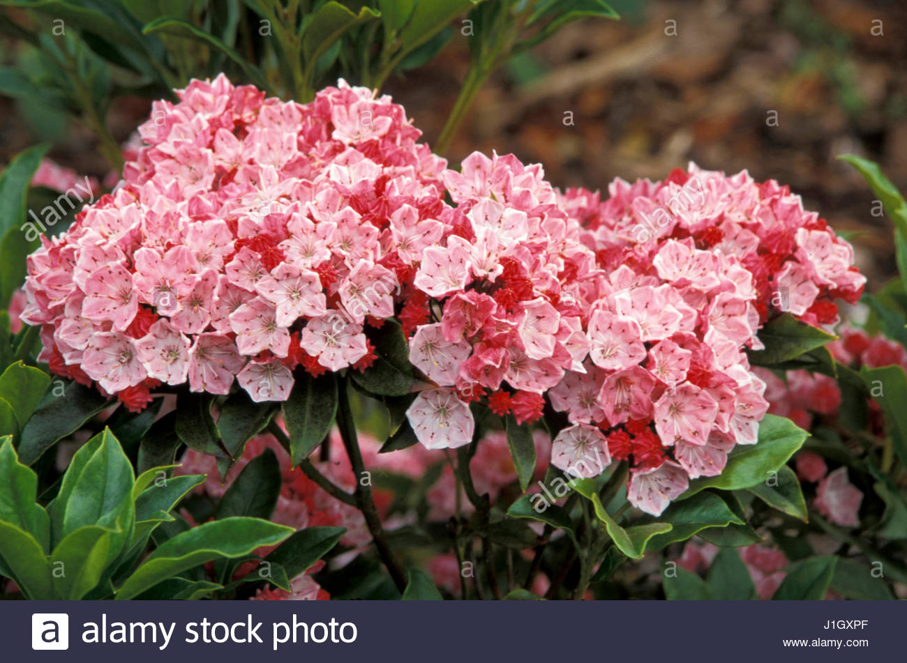 Kalmia Latifolia Olympic Fire Calico Bush Mountain Laurel  Stock Image