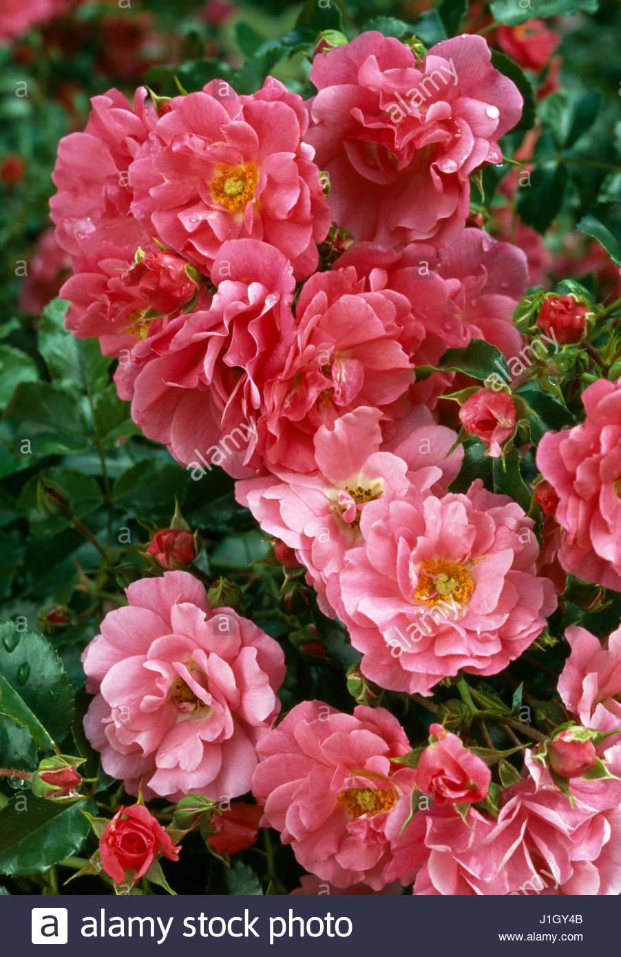 Rose Flower Carpet Stock Photos & Rose Flower Carpet Stock ...