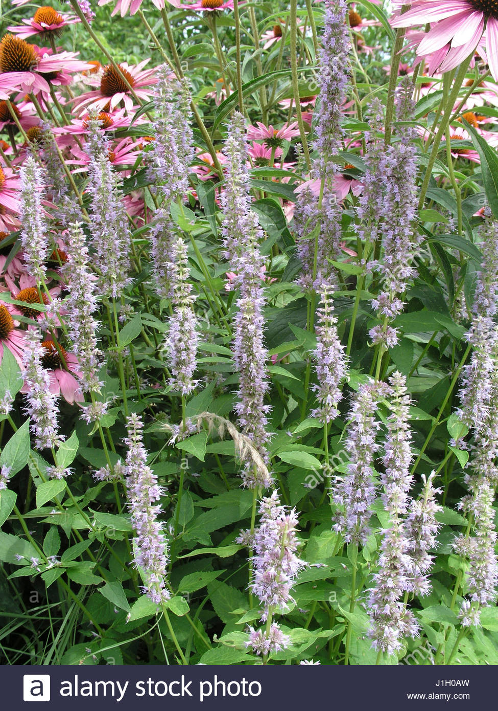 giant hyssop blue fortune - photo #10