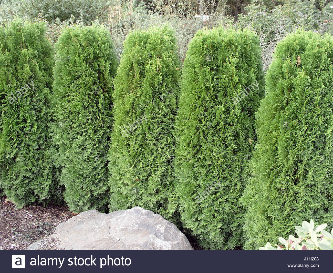 thuja occidentalis smaragd stock photos thuja occidentalis smaragd stock images alamy. Black Bedroom Furniture Sets. Home Design Ideas