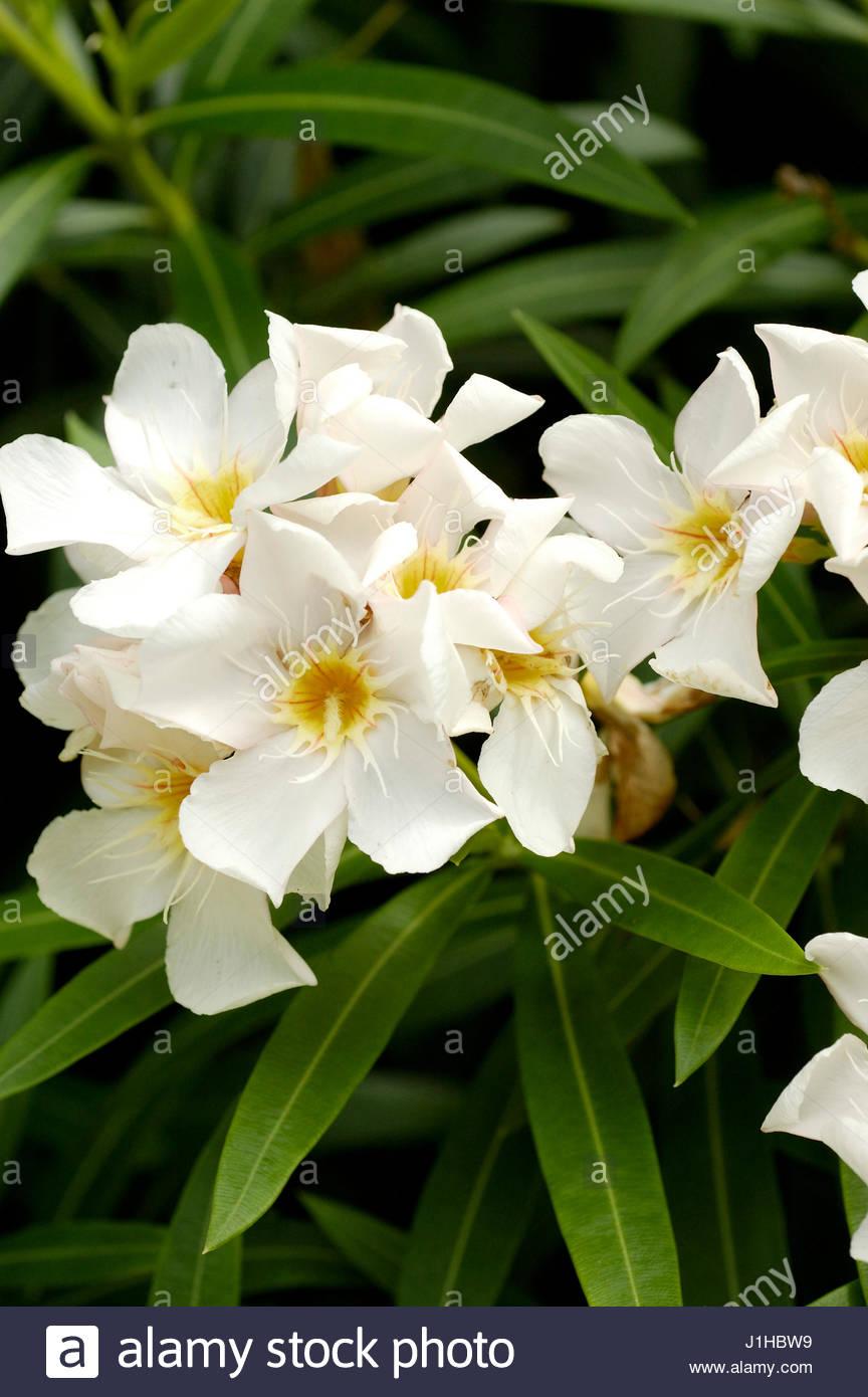 oleander nerium oleander stock photos oleander nerium oleander stock images alamy. Black Bedroom Furniture Sets. Home Design Ideas