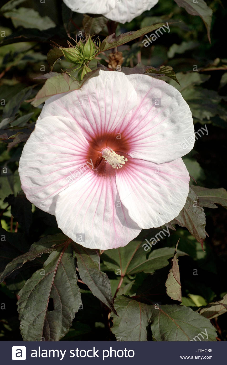 hibiscus moscheutos stock photos hibiscus moscheutos stock images alamy. Black Bedroom Furniture Sets. Home Design Ideas