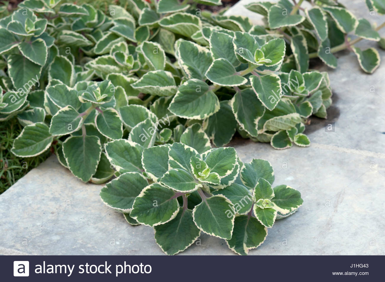 Plectranthus caninus Variegata  Natural World