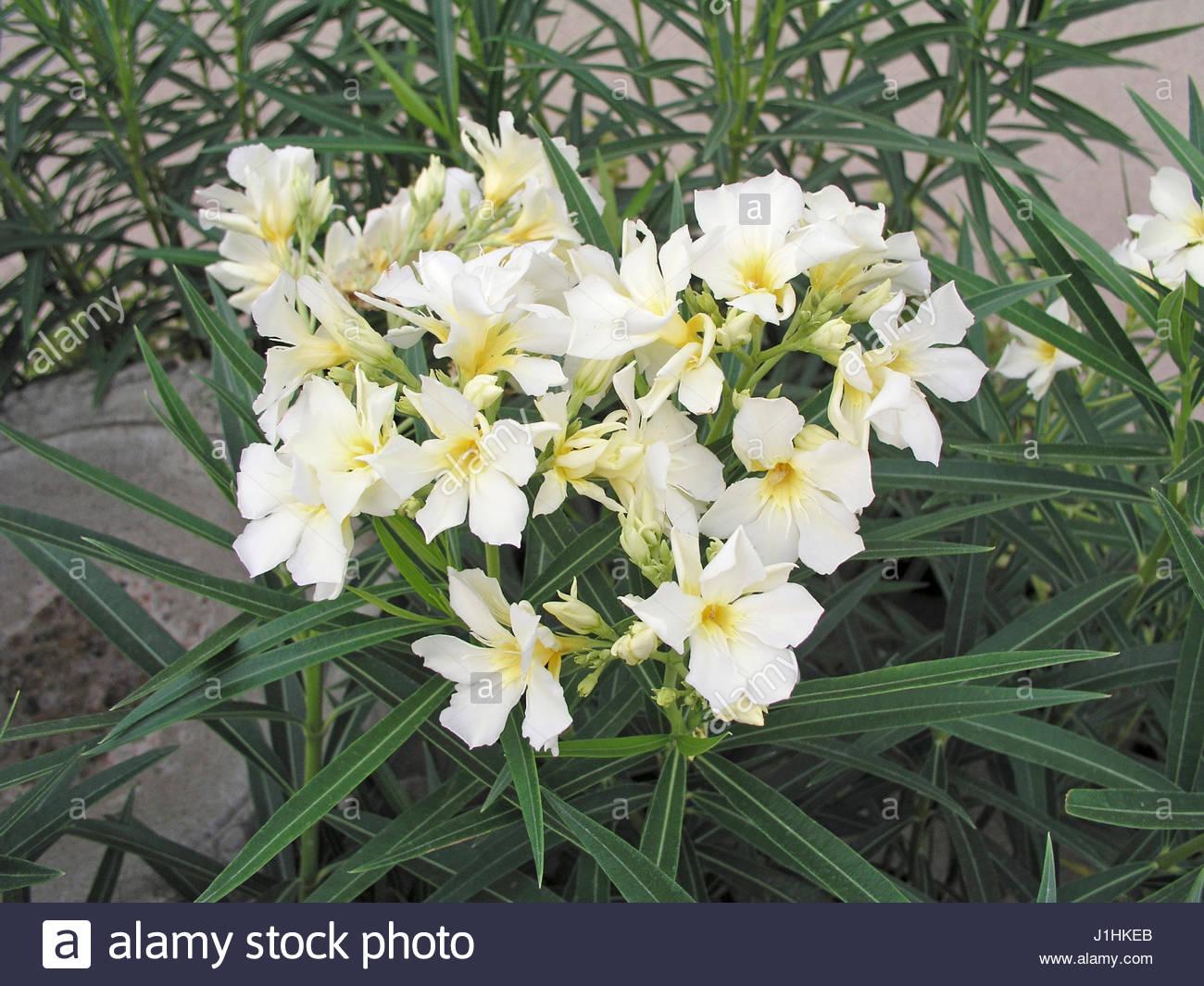 yellow oleander stock photos amp yellow oleander stock