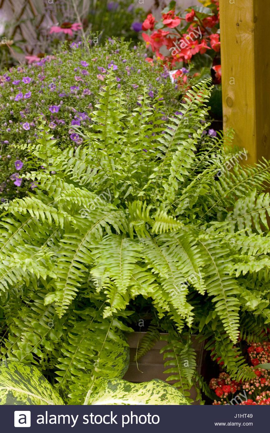 Boston fern stock photos boston fern stock images alamy - Nephrolepis exaltata ...