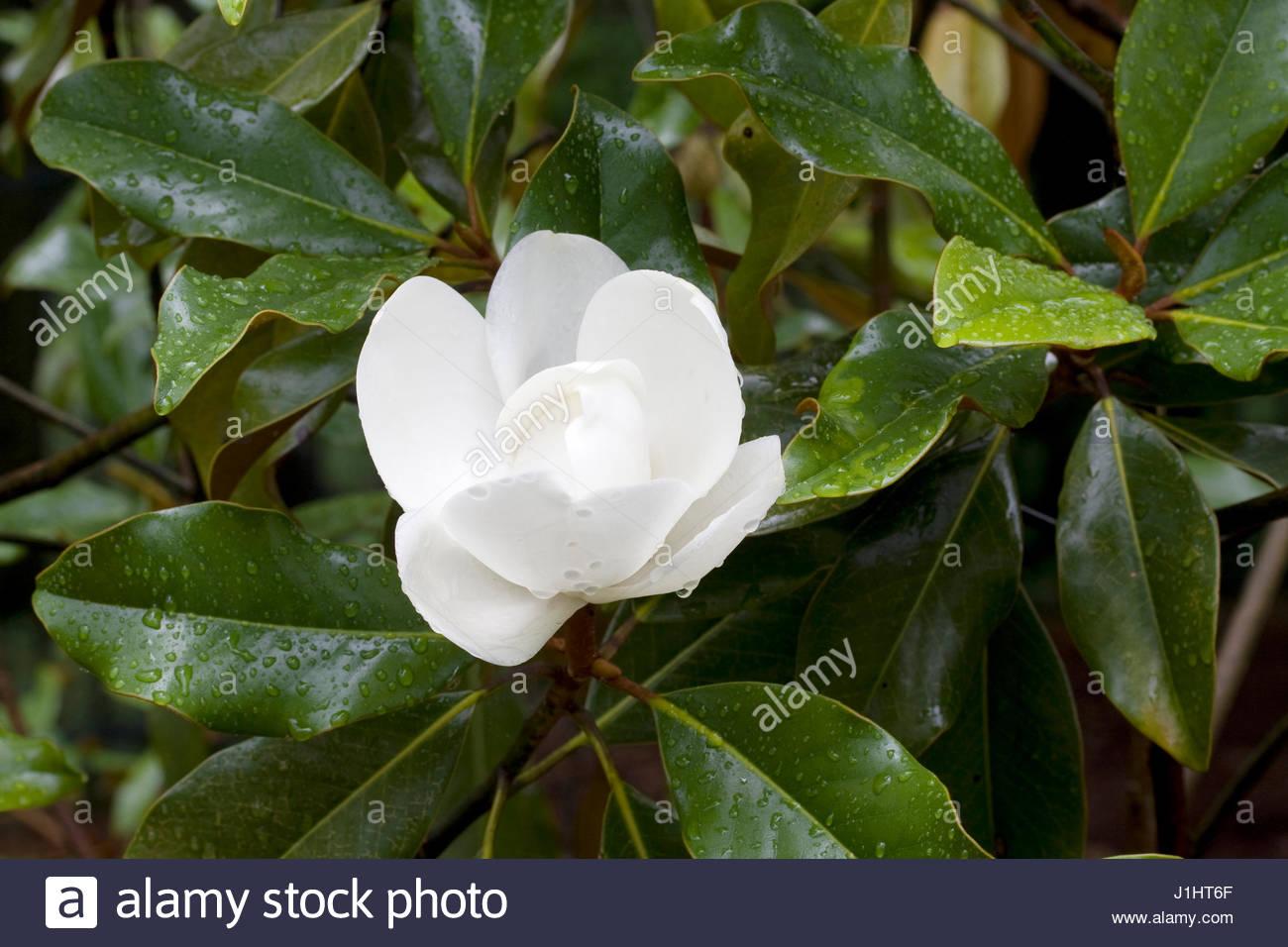 Magnolia grandiflora tree stock photos magnolia - Magnolia grandiflora ...